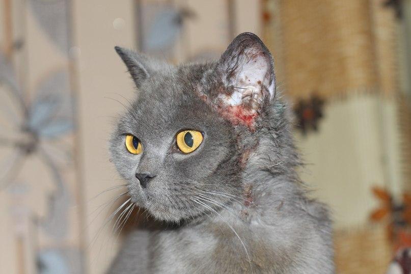 Проявления атопического дерматита у кота