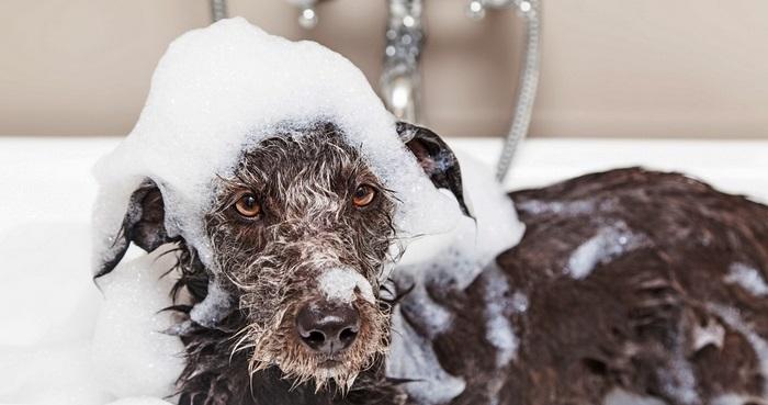 Мытье пса специальным шампунем