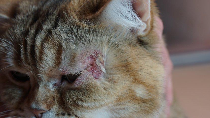 Мокнущая форма экземы у кошки