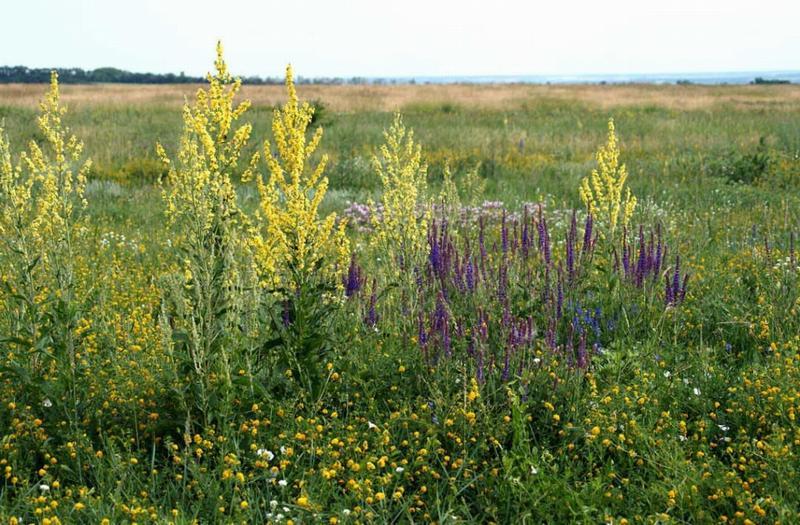 Ветроопыляемые виды растений