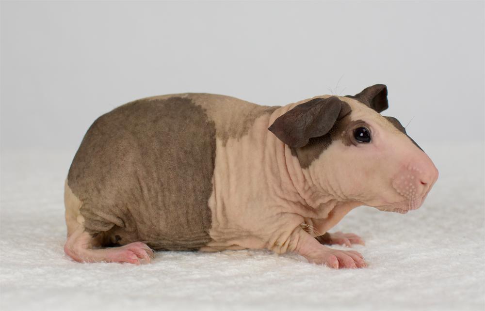 "Порода свинок ""болдуин"""
