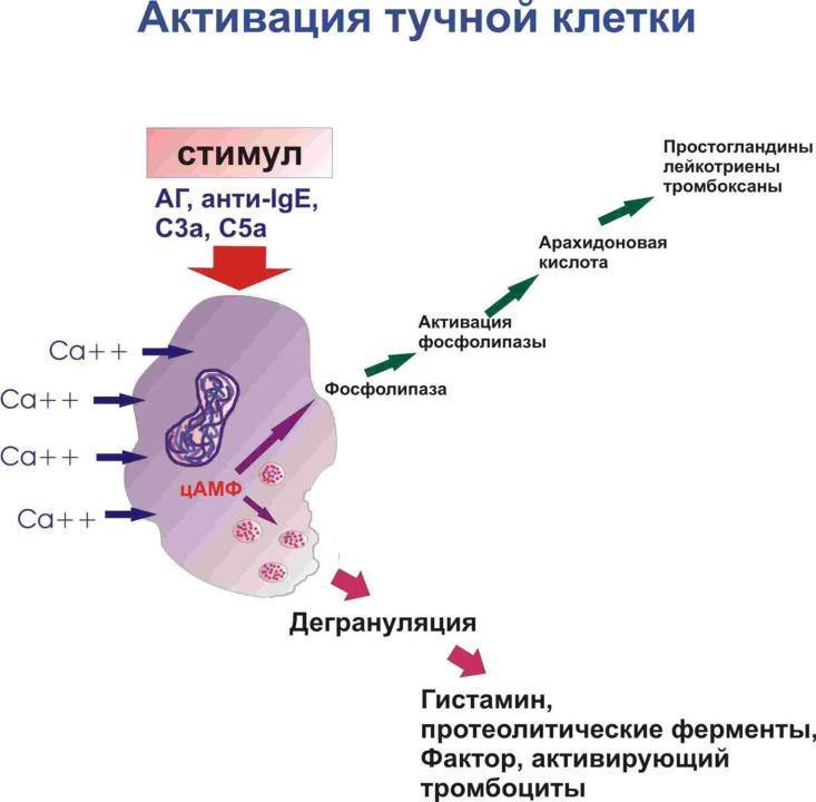 Активация тучной клетки