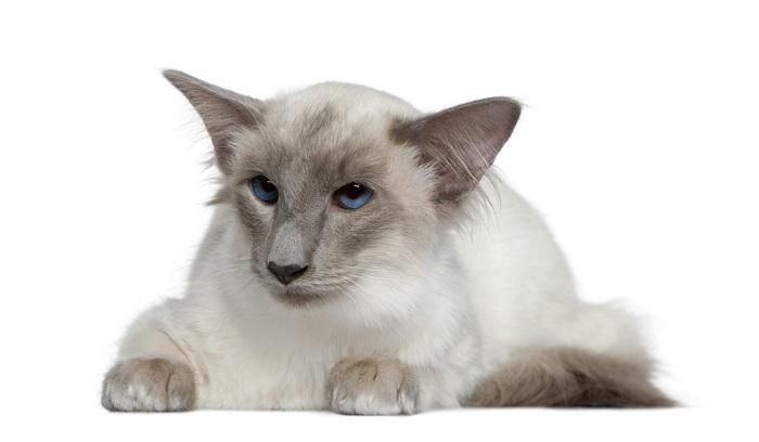 Кошка балинезийской породы
